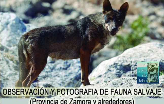 avistamiento-de-lobos