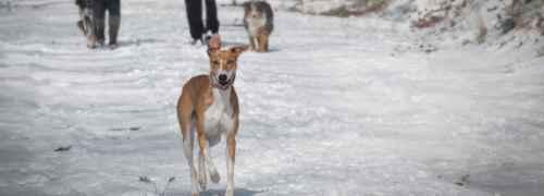 caminando-con-perros-en-la-nieve